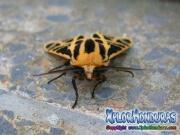 photo Cymbalophora pudica moth