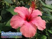 Mar pacifico, hibiscus, rosa-sinensis rosa china rosado