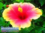 mar pacifico, hibiscus, rosa-sinensis, rosa de china rosado con amarillo