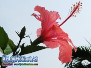 hibiscus, mar pacifico, rosa-sinensis rosa china rosado