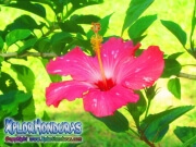 hibiscus, mar pacifico, rosa-sinensis rosa china rosado con blanco