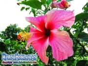 mar pacifico, hibiscus, rosa-sinensis, rosa china rosado con blanco