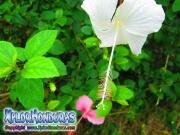 mar pacifico, hibiscus, rosa-sinensis, rosa china blanco