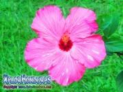 mar pacifico, hibiscus, rosa-sinensis, rosa de china rosado con blanco