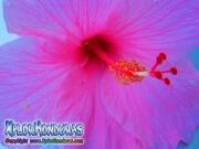 mar pacifico, hibiscus, rosa-sinensis, rosa de china rosado
