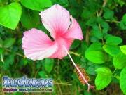 pink hibiscus, mar pacifico, rosa-sinensis, rosa de china rosado