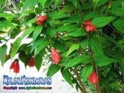red hibiscus, mar pacifico, rosa-sinensis, rosa de china rojo cerado