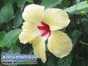 yellow red hibiscus, mar pacifico, rosa-sinensis, rosa de china rojo amarillo