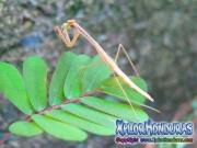 Insecto Mamboreta comiendo