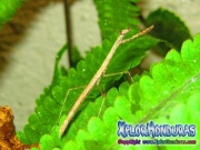 Insecto Mantis Religiosa