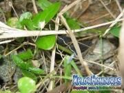 Insecto Tatadios Mantis