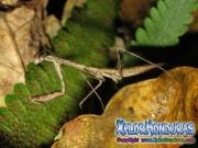 Mantis Religiosa Mantodea