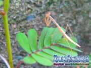 Mantis Religiosa Usamico