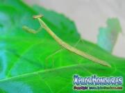 Mantodea Mantis Religiosa Verde