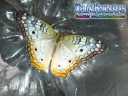Mariposa Anartia jatrophae White Peacock