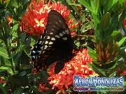 Broad banded Swallowtail Papilio astyalus honduras