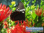 butterfly Broad banded Swallowtail Papilio astyalus honduras