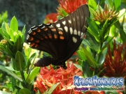 butterfly Broad banded Swallowtail Papilio astyalus
