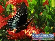 butterfly female Broad banded Swallowtail Papilio astyalus honduras