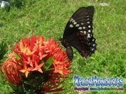 butterfly female Broad banded Swallowtail Papilio astyalus