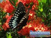 butterfly female Papilio astyalus Broad banded Swallowtail honduras