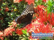 butterfly Papilio astyalus Broad banded Swallowtail honduras