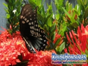 mariposa Broad banded Swallowtail Papilio astyalus honduras