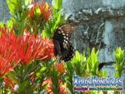 mariposa Broad banded Swallowtail Papilio astyalus