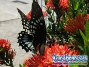 mariposa hembra Broad-banded Swallowtail Papilio astyalus honduras