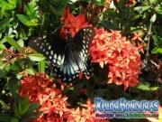 mariposa hembra Broad banded Swallowtail Papilio astyalus