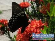 mariposa hembra Papilio astyalus Broad banded Swallowtail honduras