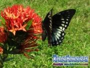mariposa hembra Papilio astyalus Broad-banded Swallowtail