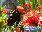 mariposa Papilio astyalus Broad-banded Swallowtail honduras