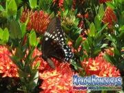 mariposa Papilio astyalus Broad-banded Swallowtail