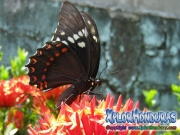 Papilio astyalus Broad-banded Swallowtail honduras
