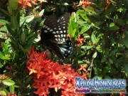 Papilio astyalus Broad-banded Swallowtail