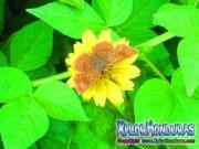 mariposa-calephelis-rawsoni-1