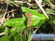 mariposa-calephelis-rawsoni-10