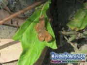 mariposa-calephelis-rawsoni-11