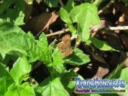 mariposa-calephelis-rawsoni-2