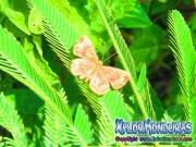 mariposa-calephelis-rawsoni-3