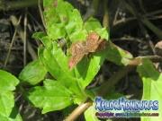 mariposa-calephelis-rawsoni-4