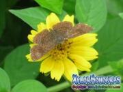 mariposa-calephelis-rawsoni-5