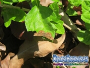 mariposa-calephelis-rawsoni-6