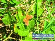 mariposa-calephelis-rawsoni-7