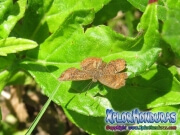 mariposa-calephelis-rawsoni-8