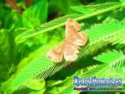 mariposa-calephelis-rawsoni-9