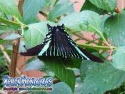 Mariposa Colipato Verde, Urania Fulgens, Urania Swallowtail Moth, Green Urania