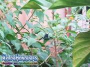 butterfly Mariposa Urania Fulgens, Colipato Verde, Urania Swallowtail Moth, Green Urania
