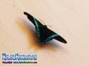 butterfly Urania Fulgens, Colipato Verde, Urania Swallowtail Moth, Green Urania